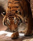 Bengal Tiger stock images