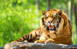 Free Bengal Tiger Stock Image - 54758631