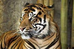 Bengal-Tiger Lizenzfreie Stockfotos