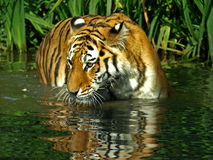 Bengal Tiger. In water endangered spices stock images