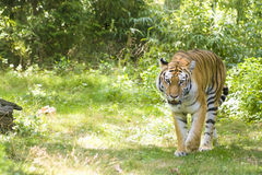 Bengal Tiger. A ferocious tiger on the prowl in a natural setting Stock Photo