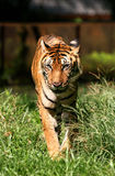 Bengal Tiger Stock Image