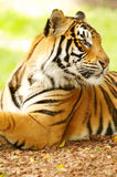 Bengal Tiger. A shot of a bengal tiger in the wild Stock Photo