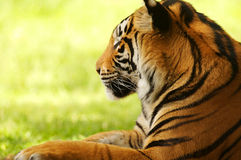 Bengal Tiger. A shot of a bengal tiger in the wild Royalty Free Stock Photo