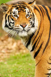 Bengal Tiger. A shot of a bengal tiger in the wild Stock Photography