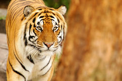 Bengal Tiger. A shot of a bengal tiger in the wild Royalty Free Stock Image