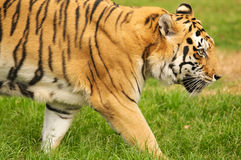 Bengal Tiger. A shot of a bengal tiger in the wild Royalty Free Stock Photos