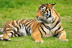 Bengal Tiger. A shot of a bengal tiger in the wild Stock Image