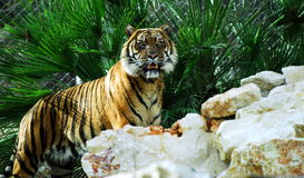 Bengal tiger. Portrait of a big bengal tiger standing on rocks with green plants as background Royalty Free Stock Images