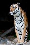 Bengal-Tiger Stockbilder