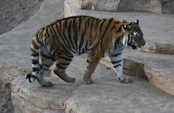 Free Bengal Tiger Stock Photography - 85647962
