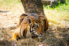 Bengal Tiger. In action preparing to jump Royalty Free Stock Photography