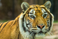 The Bengal Tiger on alert Royalty Free Stock Images