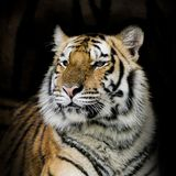 Bengal tiger Stock Image