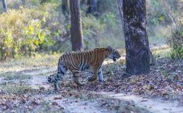 Bengal tiger, Bandhavgarh nationalpark, Indien Fotografering för Bildbyråer
