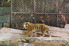 Tiger in the zoo Royalty Free Stock Photos