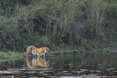 Bengal-Tiger in Bardia, Nepal Lizenzfreies Stockbild