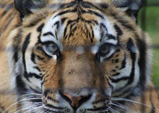 Bengal tiger behind bars Stock Photos