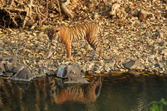 Bengal tiger. Ranthambore National Park, India Stock Photography
