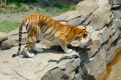 Bengal-Tiger betriebsbereit zu springen Stockbild