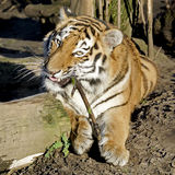 Bengal tiger with branch Royalty Free Stock Photography