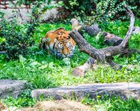 Bengal tiger at Buffalo Zoo. Exterior daytime stock photo of Bengal tiger crouching in grass behind log in the Buffalo Zoo in Buffalo, New York, Erie County Royalty Free Stock Photography