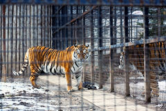 Bengal tiger in cage Royalty Free Stock Photo