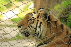 Bengal tiger. In a cage Royalty Free Stock Image