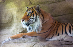Bengal Tiger in Captivity against a natural stone wall. Side profile of a Bengal Tiger in Captivity resting on a rock against a natural stone wall Stock Images