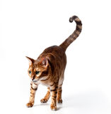 Bengal Tiger Cat staring at invisible object. Isolated Bengal Tiger Kitten staring - good for any food or pet product royalty free stock image