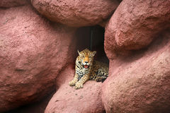 Bengal tiger in the cave Stock Photography