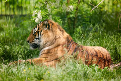 Bengal tiger chilling out Royalty Free Stock Photos