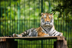 Bengal tiger chilling out Royalty Free Stock Image