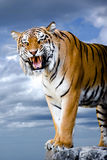 Bengal tiger. Close-up portrait of tiger's face with bare teeth. Bengal tiger isolated on blue sky background with clipping path Stock Photos