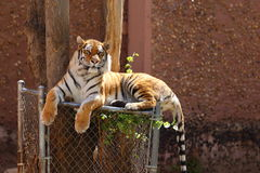 Bengal Tiger. A close up view of a Bengal tiger, Panthera tigris tigris, laying down on top of a fence underneath a tree Royalty Free Stock Photo