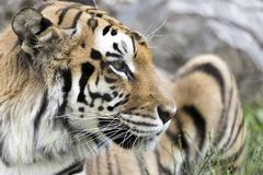 The Bengal Tiger. In Color stock images