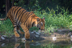 Bengal tiger comes to a water swamp to drink at Sunderban National Park. Bengal Tigers are visible on safari at Sunderban National Park when they come out of Royalty Free Stock Photography