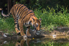 Bengal tiger comes to a waterhole to drink at Sunderban National Park. Royalty Free Stock Image