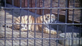 1973: Bengal tiger in confined zoo cell. WASHINGTON DC stock footage
