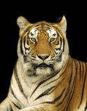 Bengal Tiger In Dark. Portrait of a Bengal Tiger on Black Background royalty free stock images