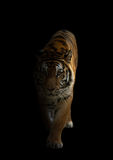 Bengal tiger in the dark Royalty Free Stock Photography