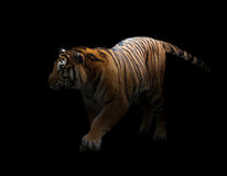 Bengal tiger in the dark Stock Photo