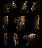 Bengal tiger  in the dark Stock Photography