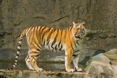 Bengal-Tiger, der auf dem Felsen steht Lizenzfreies Stockfoto