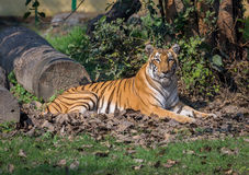 Bengal-Tiger, der an einem Naturschutzgebiet in Indien stillsteht Lizenzfreie Stockfotos