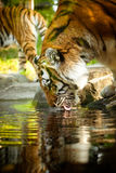 Bengal Tiger drinking Stock Images