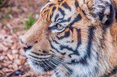 Bengal tiger, drottning av skogen, tigermaskering, nära övre för tiger, kattdjur Royaltyfria Bilder