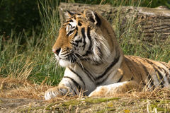 Bengal tiger enjoying the sunshine Stock Photo