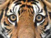Bengal tiger eyes Royalty Free Stock Photo