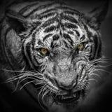 Bengal tiger. Face full frame Royalty Free Stock Photos